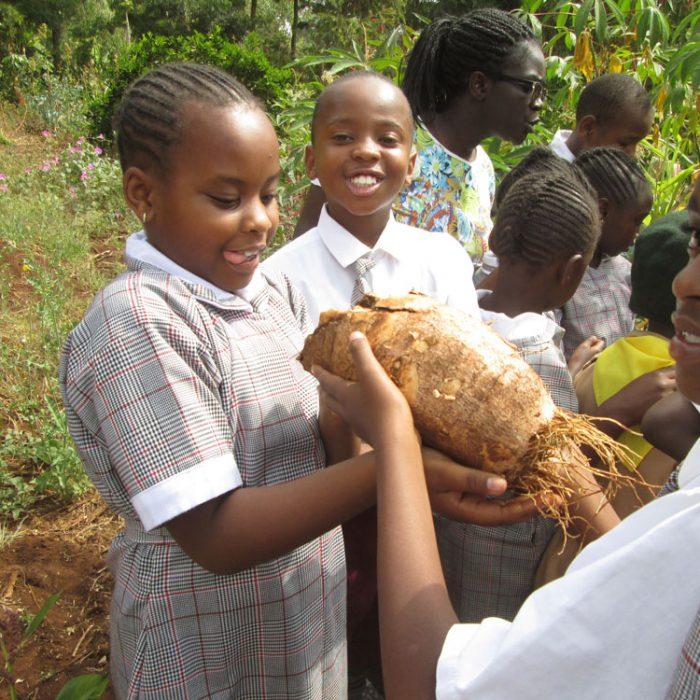 F-Mainflow-harvesting-cassava